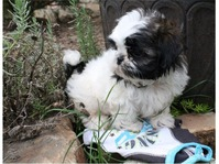 Cute baby Shih tzu puppies available for good home