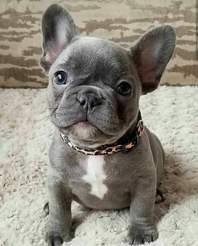 Cute lovely French bulldog pups.
