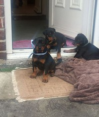 Doberman puppies for rehoming