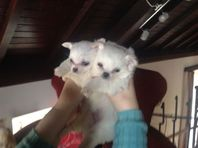 Downsize the chihuahua family