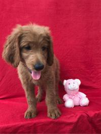 F1 Golden doodle puppies are very healthy and adorable