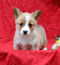 Family Raised, Playful Welsh Corgie (Pembroke) Pups