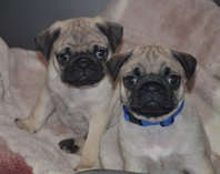 Fawn Male Pug Puppy Ready To Leave,
