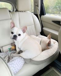 French  bulldog well trained, very playfully towards children and toys.