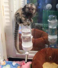 Full Papered pygmy marmoset Capuchin monkeys for sale