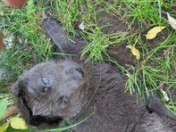 German Shepherd Rare Blue Puppies