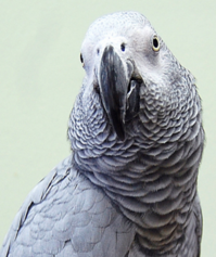 Golden Cockatoo African Grey parrot