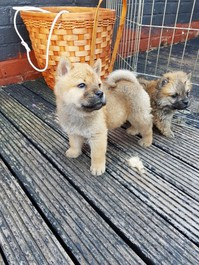 Gorgeous Chow Chow Puppies  Boys And Girls