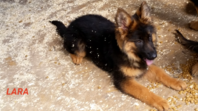 Gorgeous German Shepherd puppies available