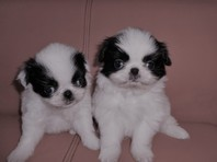 Gorgeous Japanese Chin Baby