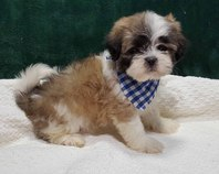 Gorgeous KC Lhasa Apso Puppies For Sale