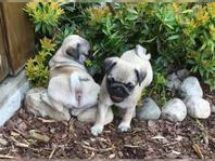 Gorgeous male and female pug puppies now available