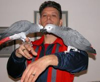 HAND REARED BABY AFRICAN GREY PARROTS
