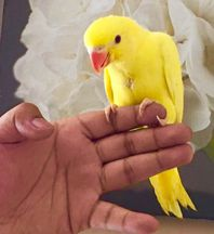 Hand Reared Baby Yellow Latino Ringneck Talking