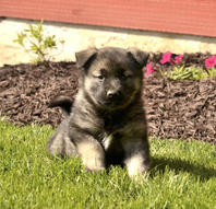 Handsome, Loyal Norwegian Elkhound Puppies