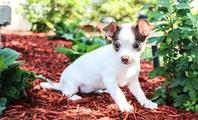 Home Raised Beautiful Chihuahua puppies