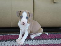 Kc Champion Sired Italian Greyhound Puppies