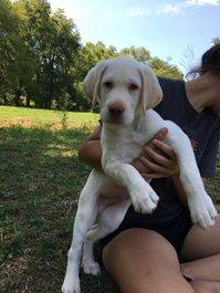Kc Reg Labrador Retriever Pups For Sale.
