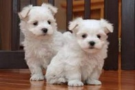Kc Registered Maltese Puppies