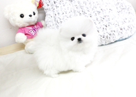 Kc Registered Pomeranian Puppies For Sale