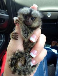 Male and female Marmoset monkeys for adoption