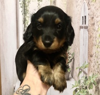 Miniature Dachshund Pup KC Registered