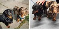 Miniture dachshunds