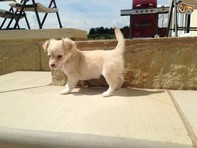 Outstanding Cute Pretty Chihuahua Puppies Available Now