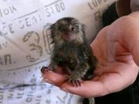 Potty Trained Finger Baby Marmoset Monkeys