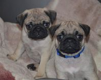 Pug Puppies for Sale (KC Reg.)