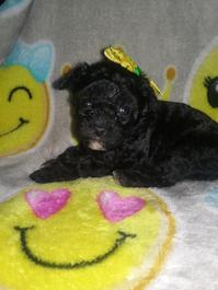 Purebred Poodle puppies ready now