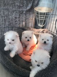 Ready Now Beautiful White Pomeranian Puppies ready to go to a loving home