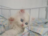 Registered, Pedigree, Red Female Persian kittens.