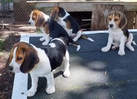STUNNING TRI COLOUR BEAGLES