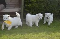 Samoyed Puppies For Sale £250