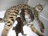 Savannah Kittens avaialble -