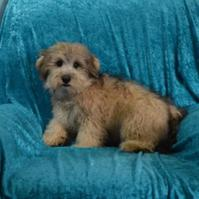 Schnoodle Puppies for sale.