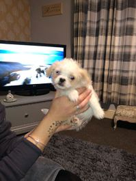 Shithzu cross puppies 8 weeks old looking for a forever loving home