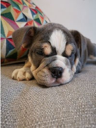 Stunning English Bulldog puppy ready to live