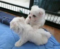 Stunning Little Maltese  Pups for loving homes