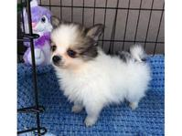Stunning Pomeranian Puppies Boys And Gir