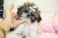 Stunning Shih Tzu Puppies Available