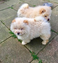 Stunning white/cream boys and girls Chow Chow pups available now.