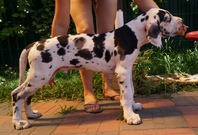 Super cute Great Dane Puppies For Sale