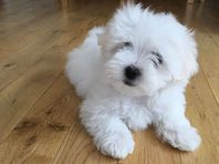 Sweet Maltese puppies available
