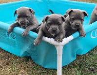 Sweet Staffordshire Bull Terrier Puppies For Sale