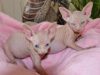 Talented Sphynx Kittens For Sale.