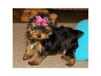 Teacup Yorkie puppy (210) 239-1181