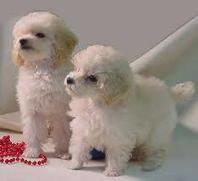 Toy Miniature Poodle Puppies for adoption