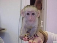 Twin Capuchin Monkey for rehoming